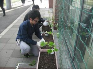 きゅうりの苗を植えています