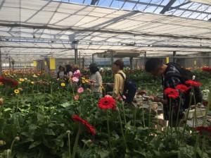 ガーベラ栽培のハウスの見学